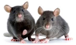 IMAGE - 2 rats